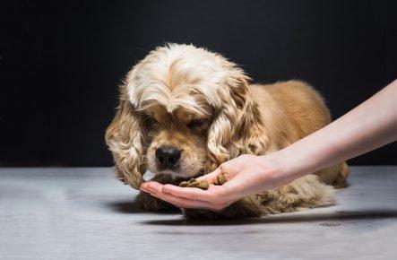 Собака нюхает лакомство