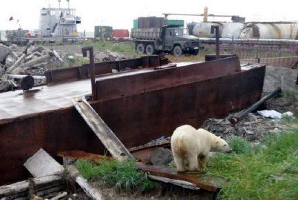 белый медведь в Анадыре