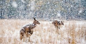 кенгуру в снегу