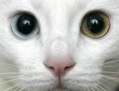 Разноглазая кошка