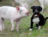 Свинья и собака