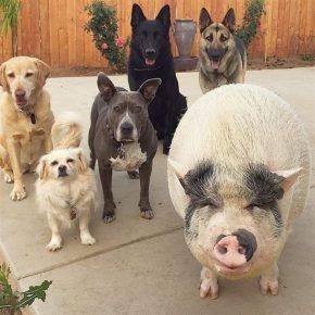 Свинка с собаками