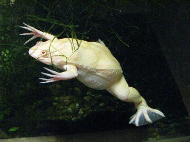Лягушка альбинос