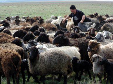 Овечье стадо