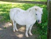Белый пони