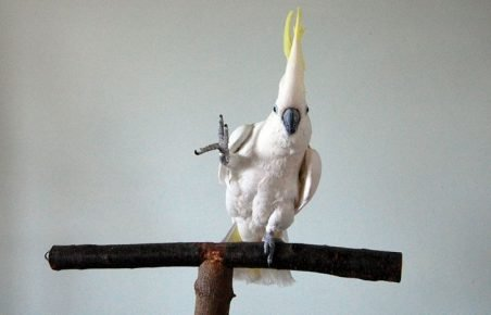 Попугай Снежок