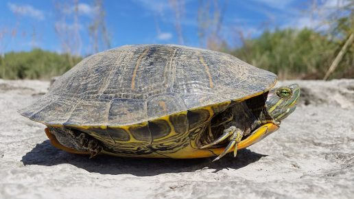 Самец красноухой черепахи