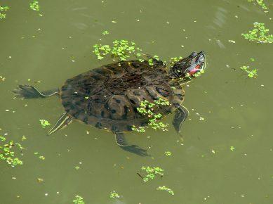 Красноухая черепаха и ряска