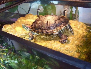 Красноухая черепаха под лампой