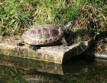 Красноухая черепаха в пруду