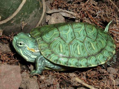 Детёныш красноухой черепахи