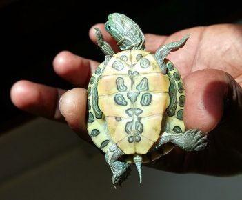 Красноухая черепаха — вид снизу