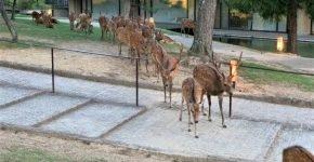 Оленье собрание в Наре