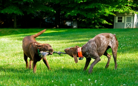 Собаки тянут канат
