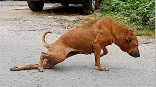 Пёс-симулянт Гае