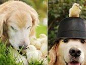 Ретривер и цыплята