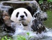 панда в воде