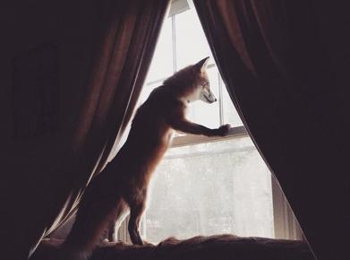 Лиса выглядывает в окно