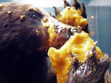 медведь ест мёд