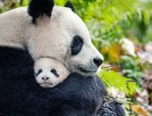 панда с детёнышем