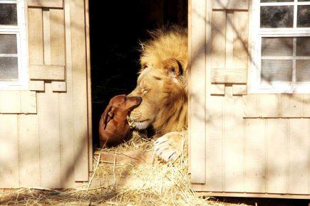 Лев и маленькая такса