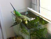 Попугай ныряет в аквариум