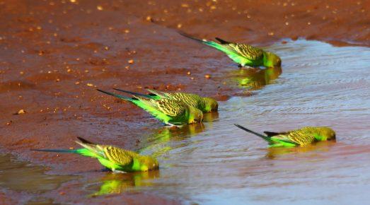 Волнистые попугайчики в дикой природе