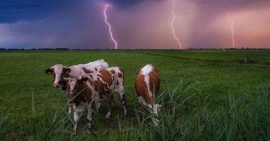Коровы в грозу