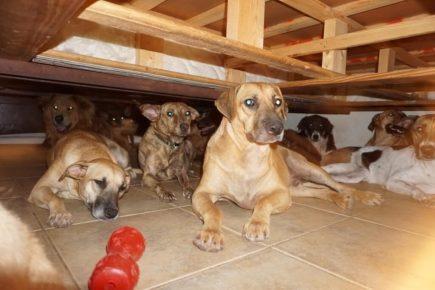 Бродячие собаки в доме