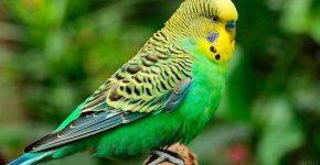 Волнистый зелёный попугай