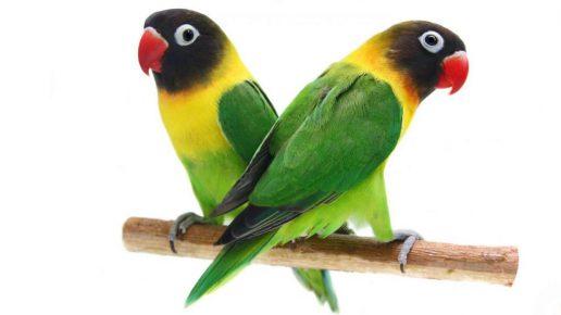 Попугаи породы неразлучники