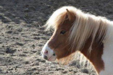 Рыжий пони