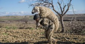 Чабан несёт овцу