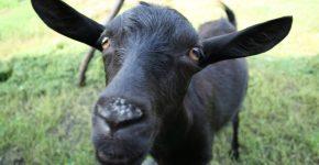 Чёрная коза