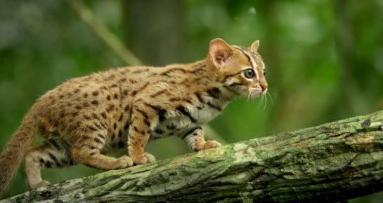Дикая кошка на охоте