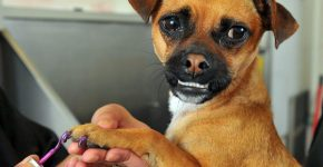 Собаке делают маникюр