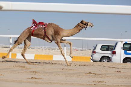Верблюд бежит