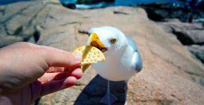 человек кормит чайку
