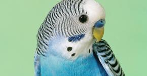 Попугай Ричи