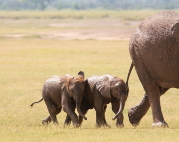 Два слонёнка