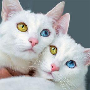 Кошки Ирисс и Абисс