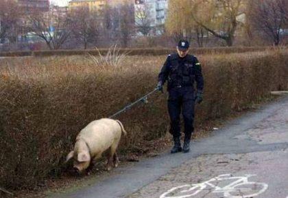 Свинья на поводке у полицейского