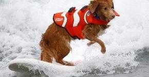 Собака на соревнованиях по сёрфингу