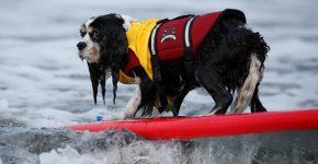 Моменты соревнований по собачьему сёрфингу