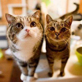 Кот Мару и кошка Хану