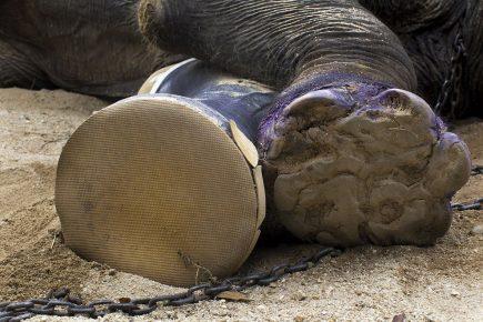 Протез у слона