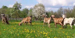 Стадо породистых коз