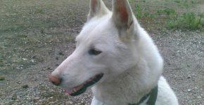 Белый пёс