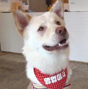 Корейская собака