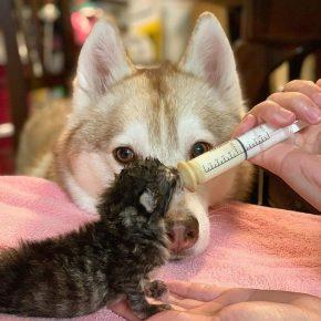 Лила контролирует кормление котят